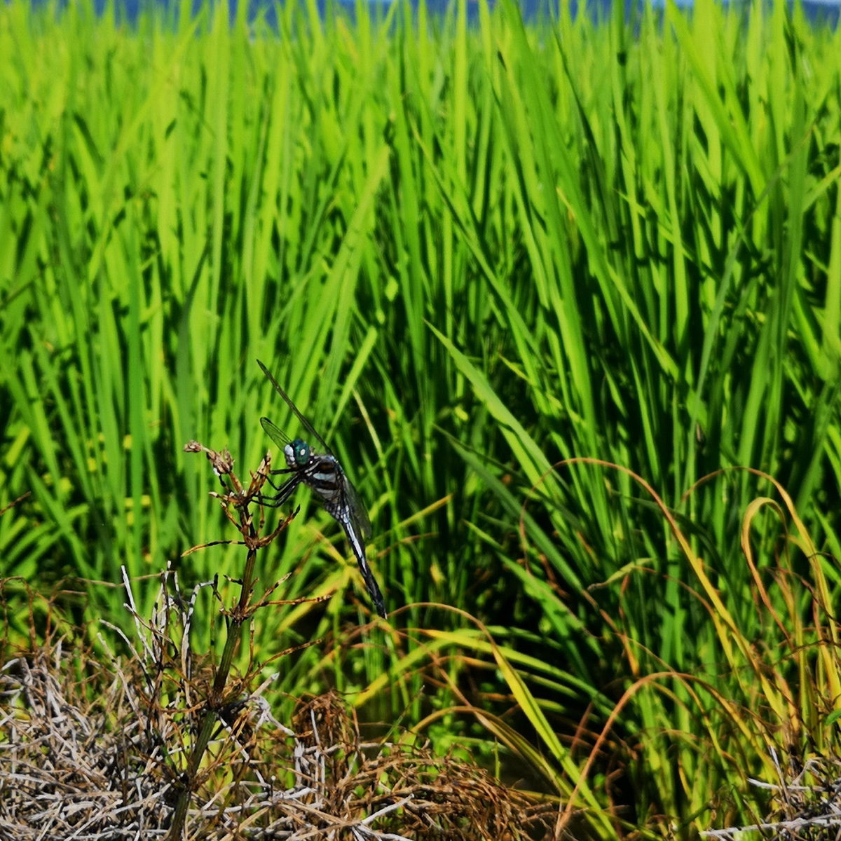 田んぼで見られた虫たち